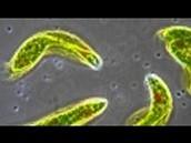 Euglena Video