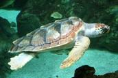 Loggerhead sea turtle swimming