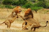 Lions Fighting...