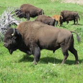 The Bison/Bufolo