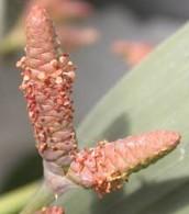 Male Cone