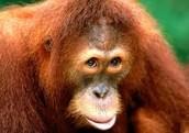 Orangutans Behind Bars