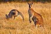 Two Kangaroos in the grass