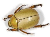 Goldsmith beetle/decomposer