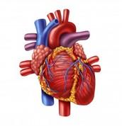 Organ - Heart