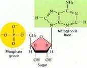 Monomer: nucleotide