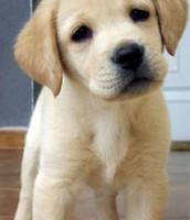 Gold/ Sandy Lab Puppy