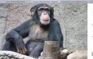 Full grow chimpanzee