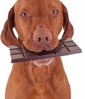 A Dog Eating Chocolate Which Is Poisonous To Dogs