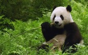 What pandas eat.