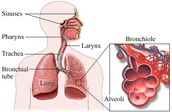 Composition of the respiratory sistem