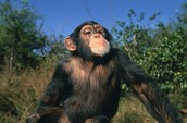 Help us save the chimpanzees!