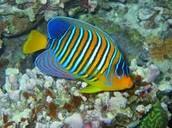 The Angel Fish
