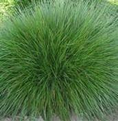 Fescur grass picture