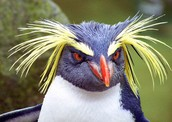 Rockhopper Penguin!