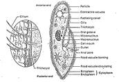 Description of the paramecium