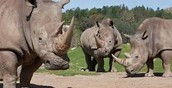 The Black Rhinos