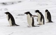 Penguins responding to the cold weather