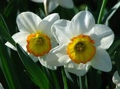 A Beautiful Narcissus
