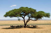 Africa Candelabra Tree