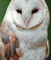 another barn owl