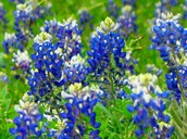 Texas' state flower is The Blue Bonnet.