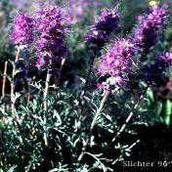 Alpine Phacelia