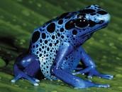 Poison dart frog/rana venenosa