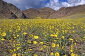 Death Valley in springtime bloom