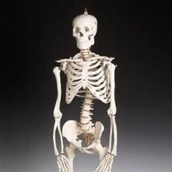 function of the skeleton
