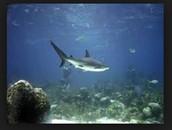 Shark in its Habitat