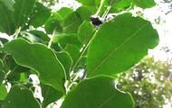Yerba Tree