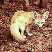 Land life. Red Fox