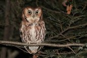 An Eastern Screech Owl in a tree by a park