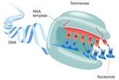 Information about Telomerase