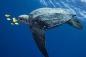 Happy leatherback turtles