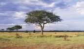 Bushy tree