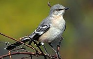 What qualities did you find that characterize the mockingbird?