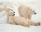 Can a polar bear eat a seal at one time ?