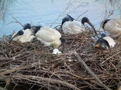 (nesting)Birds