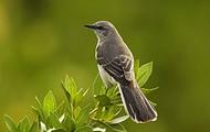 Character: Mockingbird