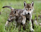 Wolf Pups playing in the meadow