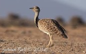 What are houbara and where do they live?