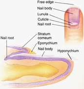 Body of the nail