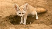 Fennec Fox (Vulpes zurda)