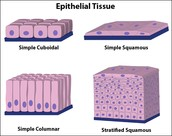 Epithelial Tissue picture #2