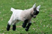 Goat leaping