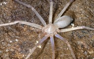 The Kauai Cave Wolf Spider Up Close