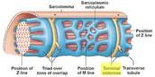 Sarcoplasmic Reticulum