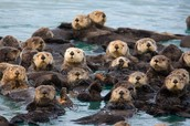Sea Otters in groups